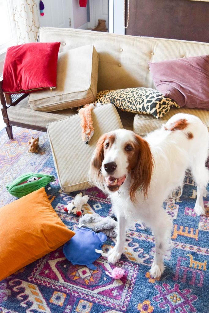 red and white irish setter dog standing next to couch cushions on the floor